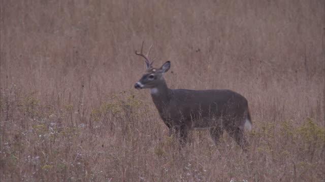 a buck deer walks across a grassy meadow in the appalachian mountains. - 牡鹿点の映像素材/bロール