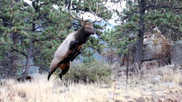 Buck Elk Jumps Over Barbed Wire Fence