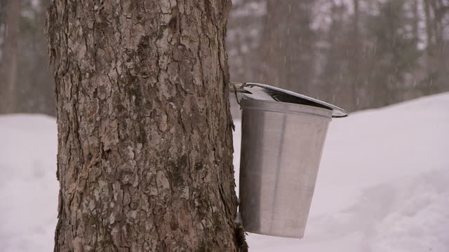 Bucket collecting sap for maple syrup in winter