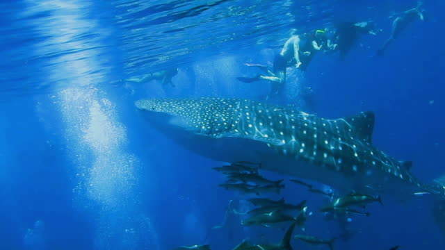 bucket list experience swimming with endangered species whale shark (rhincodon typus) - eco tourism stock videos & royalty-free footage