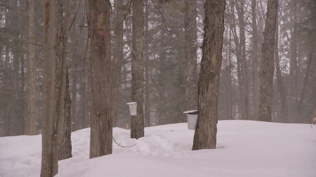 ws of buckets collecting sap for maple syrup in winter - maple syrup stock videos & royalty-free footage