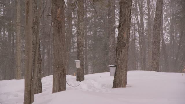 vídeos de stock, filmes e b-roll de ws of buckets collecting sap for maple syrup in winter - xarope