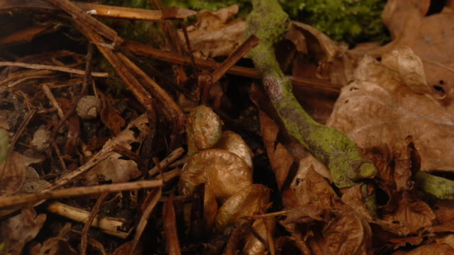 a buckler fern frond sprouts and unfurls. available in hd. - fern stock videos & royalty-free footage