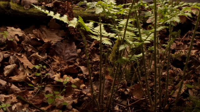 Buckler fern fronds grow on a forest floor. Available in HD.