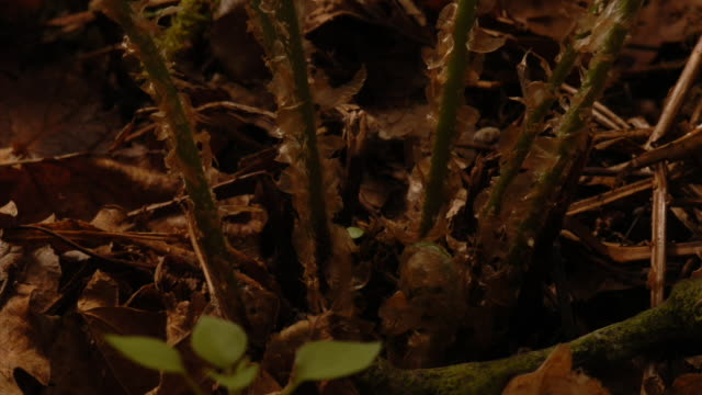 Buckler fern fronds unfurl on a forest floor. Available in HD.