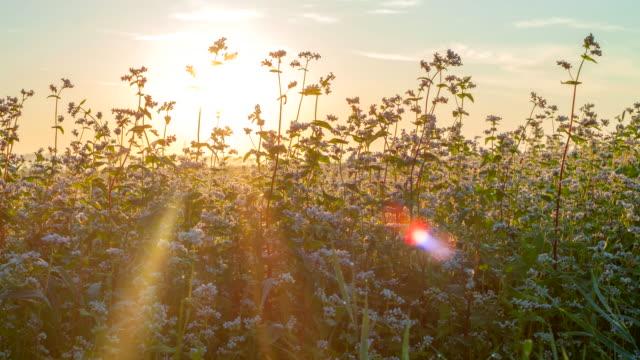 t /l 蕎麦の日の出 - 作物点の映像素材/bロール
