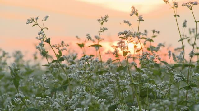 hd dolly: buckwheat at sunset - buckwheat stock videos & royalty-free footage