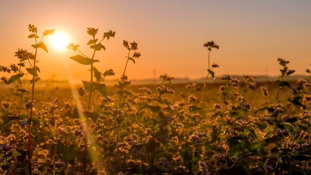 ms ds buckwheat at sunset - buckwheat stock videos & royalty-free footage