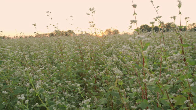 DS Buckwheat blooming on the field