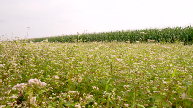 ws buckwheat blossoms in the field - buckwheat stock videos & royalty-free footage