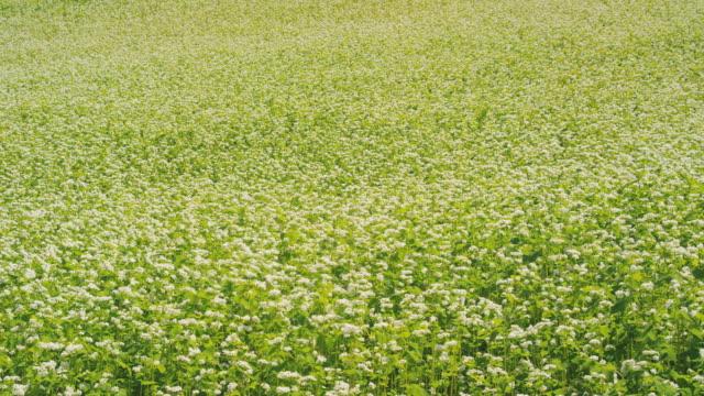 buckwheat field in biei, hokkaido, japan - hokkaido stock videos & royalty-free footage