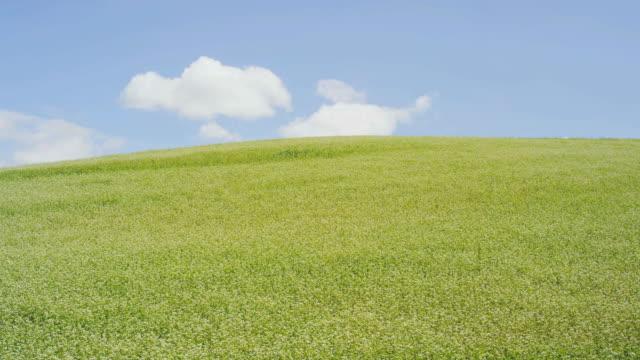 buckwheat field in biei, hokkaido, japan - biei town stock videos & royalty-free footage