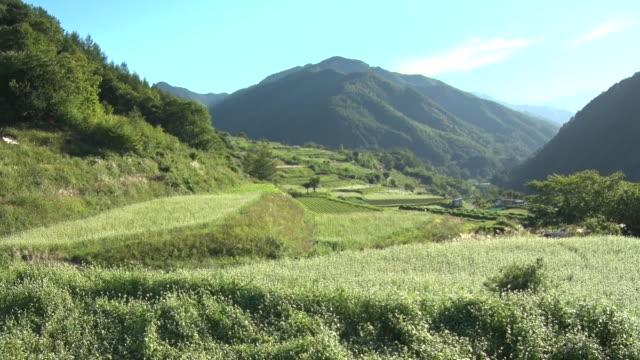 buckwheat field in nagawa area, nagano, japan - buckwheat stock videos & royalty-free footage