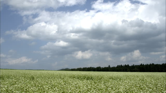 stockvideo's en b-roll-footage met buckwheat field that is swaying in the wind - stilstaande camera