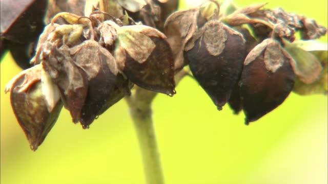 buckwheat fields, agriculture hokkaido, horokanai-cho - buckwheat stock videos & royalty-free footage