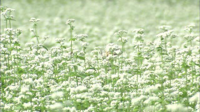 buckwheat fields and swallowtail butterfly   ms - buckwheat stock videos & royalty-free footage