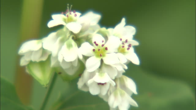 buckwheat flower blossoms form a cluster. - buckwheat stock videos & royalty-free footage