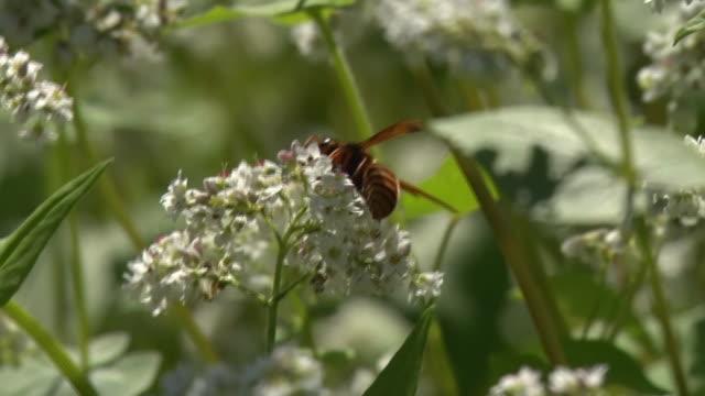 Buckwheat Flowers And Bee, Nagano, Japan