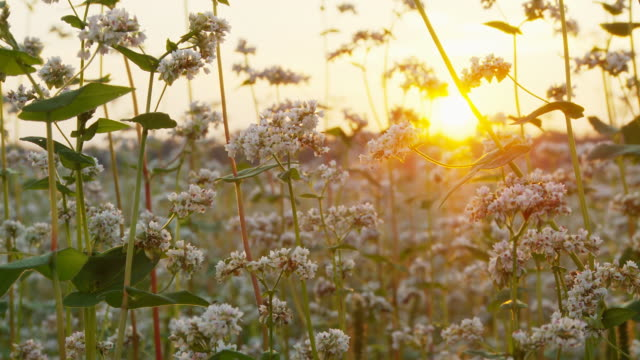 hd dolly: buckwheat flowers at sunset - buckwheat stock videos & royalty-free footage