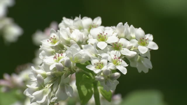 buckwheat flowers, chiba, japan - buckwheat stock videos & royalty-free footage