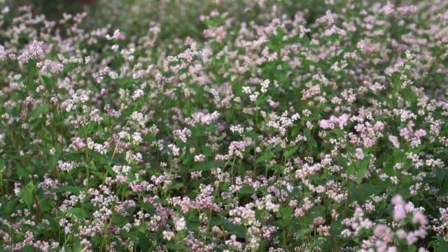 buckwheat flowers in the field. - buckwheat stock videos & royalty-free footage