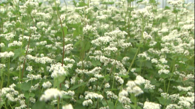 buckwheat flowers way and bend in the wind. - buckwheat stock videos & royalty-free footage