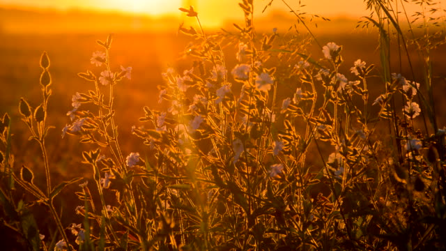 CU DS Buckwheat In The Sunset