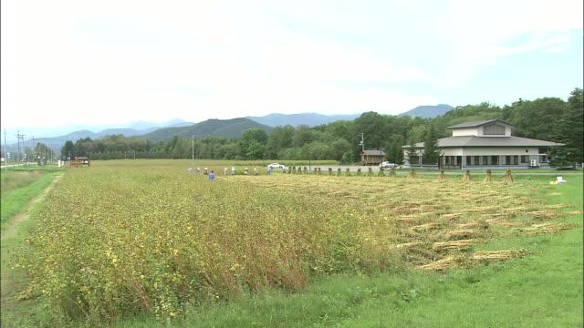 buckwheat ripens in a wide, level field. - buckwheat stock videos & royalty-free footage