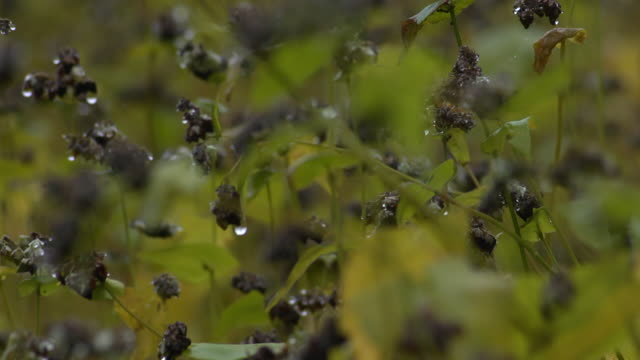 buckwheat seeds in harvest season, nagano, japan - buckwheat stock videos & royalty-free footage