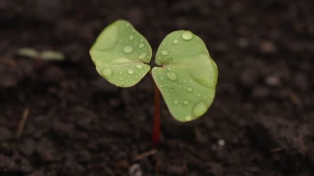 buckwheat sprout, nagano, japan - buckwheat stock videos & royalty-free footage