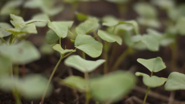 buckwheat sprouts, nagano, japan - buckwheat stock videos & royalty-free footage