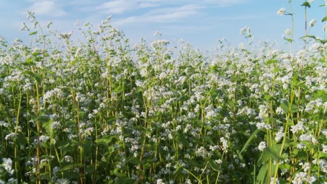 hd dolly: buckwheat swaying in the wind - buckwheat stock videos & royalty-free footage