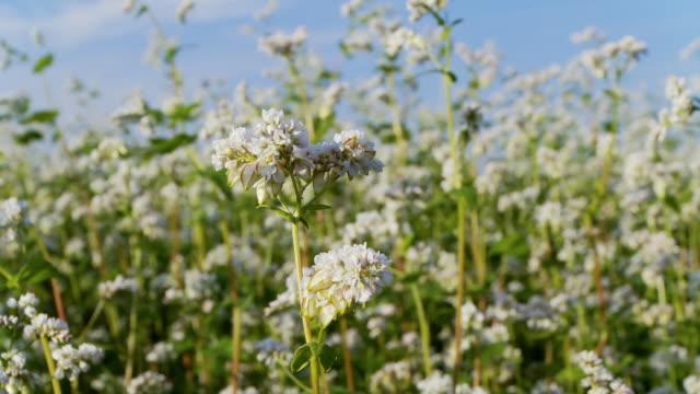 hd: buckwheat swaying in the wind - buckwheat stock videos & royalty-free footage