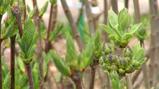 cu bud of common lilac (syringa vulgaris) / saarburg, rhineland-palatinate, germany - saarburg stock-videos und b-roll-filmmaterial