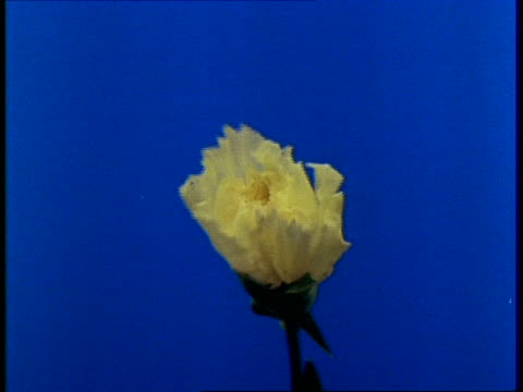 t/l bud opening to white carnation - carnation flower stock videos & royalty-free footage
