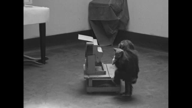 buddy the chimpanzee carries dingo his pet australian wild dog down a hallway at the bronx zoo / buddy holds dingo as he sits at toy piano and he... - bronx zoo stock-videos und b-roll-filmmaterial