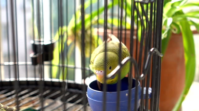 vídeos de stock e filmes b-roll de budgerigar eating in birdcage - preso