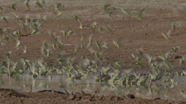 budgerigar flock lands to drink, australia. - waterhole stock videos & royalty-free footage