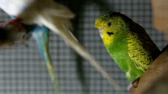 budgerigar in a cage - セキセイインコ点の映像素材/bロール