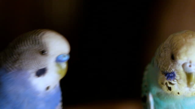 budgerigar in a cage - pair stock videos & royalty-free footage