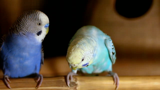 budgerigar in a cage - twin stock videos & royalty-free footage