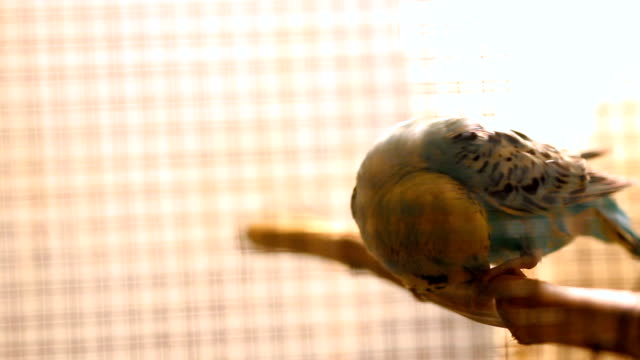 Budgerigar in a cage