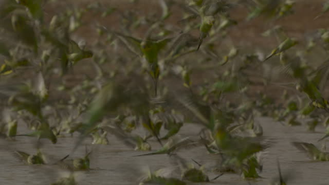 budgerigars drink from waterhole, australia. - セキセイインコ点の映像素材/bロール