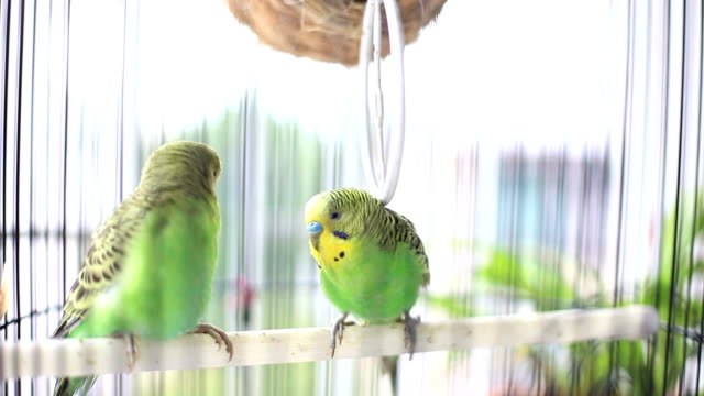 budgerigars kissing in birdcage - pets stock videos & royalty-free footage