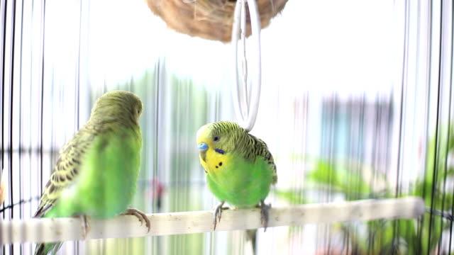 budgerigars kissing in birdcage - gabbia per gli uccelli video stock e b–roll