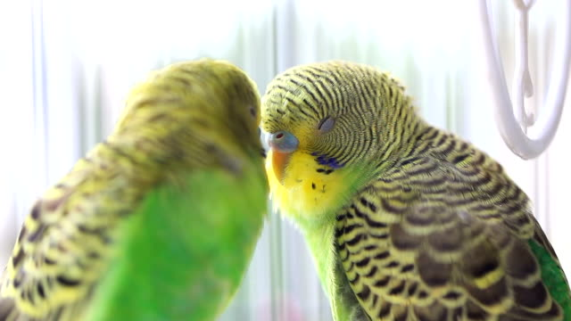 budgerigars kissing in birdcage - two animals stock videos & royalty-free footage