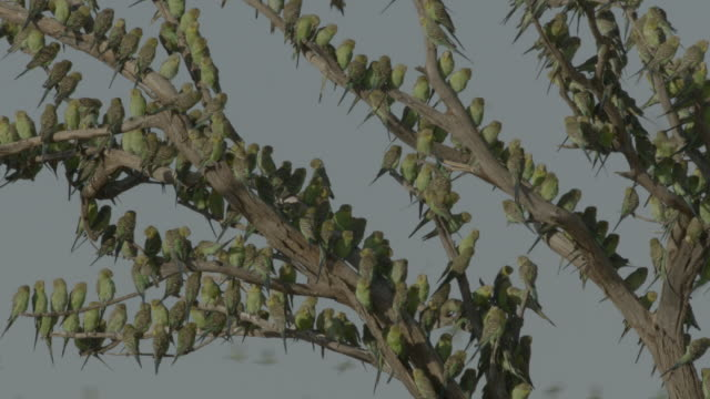 budgerigars perched in tree, australia. - branch stock videos & royalty-free footage