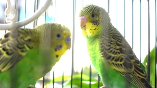 spielen im vogelkäfig wellensittiche - wellensittich sittich stock-videos und b-roll-filmmaterial