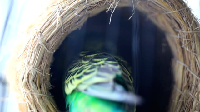 vidéos et rushes de budgerigars jouant dans le nid de cage à oiseaux - nid