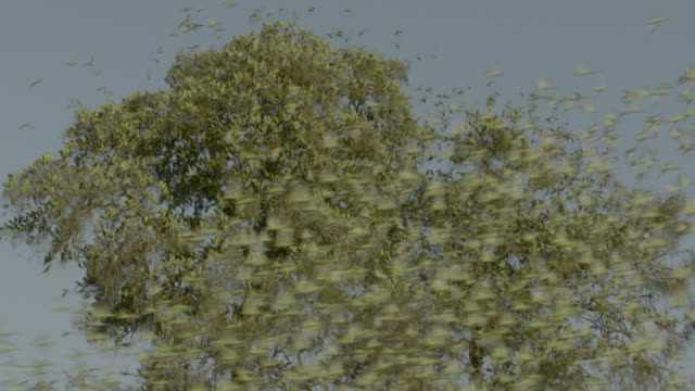 budgerigars take off from tree, australia. - taking off stock videos & royalty-free footage